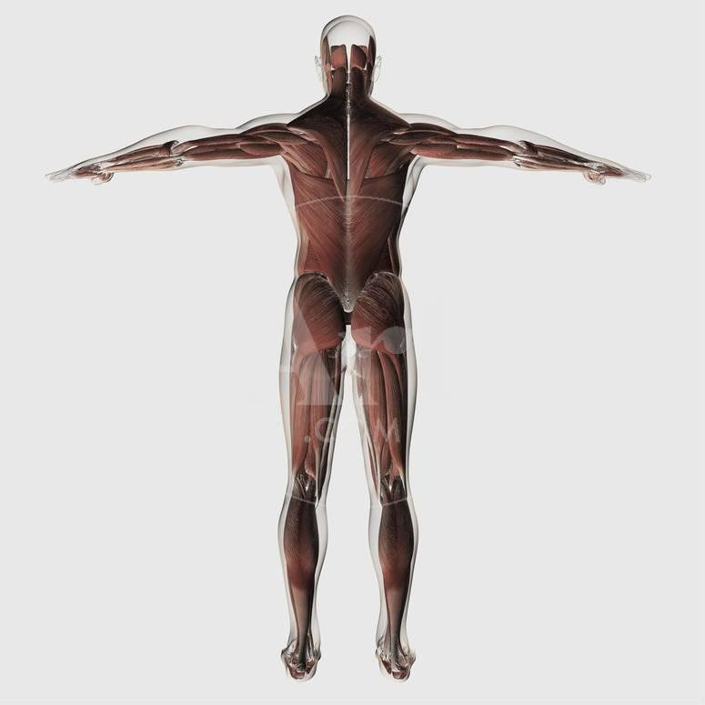 Anatomy Of Male Muscular System Posterior View Posters At