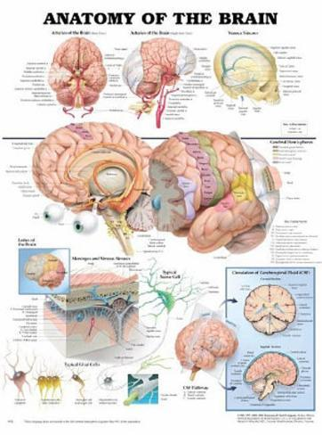 Anatomy of the Brain Anatomical Chart Poster Print Posters ...
