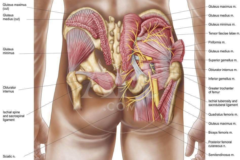 Anatomy of the Gluteal Muscles in the Human Buttocks Prints - at ...