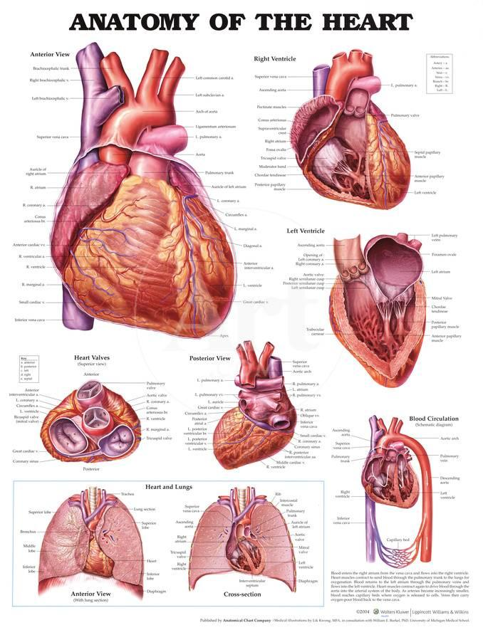 Anatomy Of The Heart Anatomical Chart Poster Print Photo At