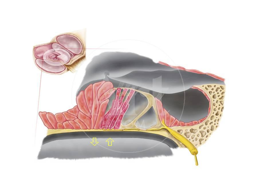 Anatomy Of The Organ Of Corti Part Of The Cochlea Of The Inner Ear