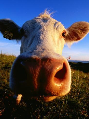 Close-Up of Cow's Nose at Glumslovs Backar, Landskrona, Skane, Sweden Photographic Print