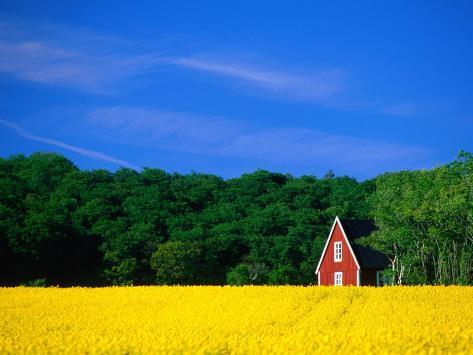 Rape Field, Red House and Forest, Kullaberg Skane, Kullaberg, Skane, Sweden Photographic Print