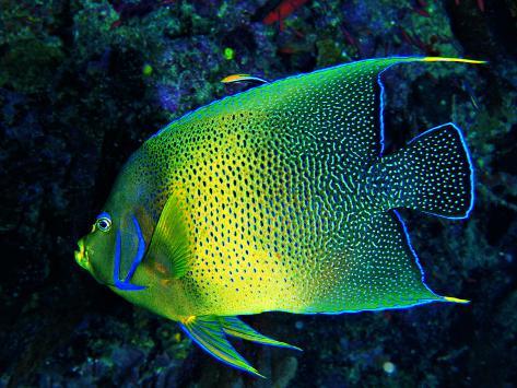 Crescent Angel Fish (Pomacanthus) Photographic Print
