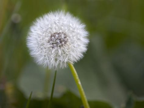 blowball dandelion close up photographic print by andrea haase