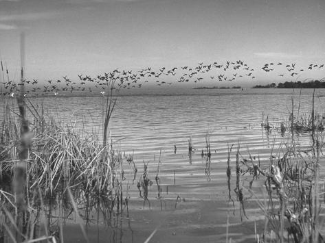 Large Flock of Canadian Geese Flying over Water Photographic Print
