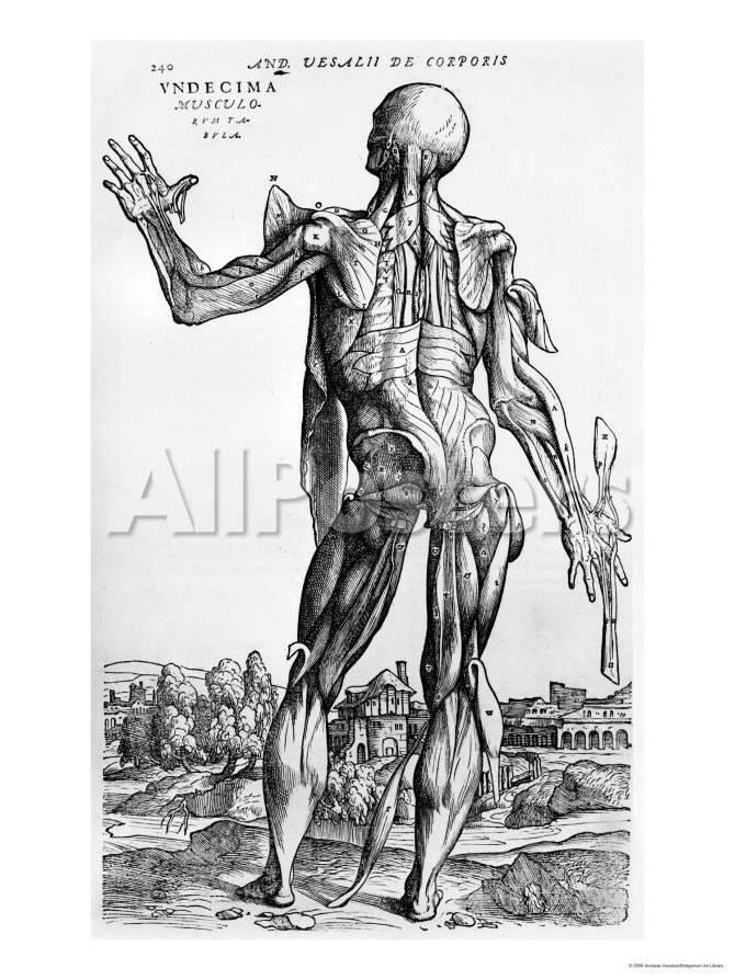 Anatomical Study Illustration From De Humani Corporis Fabrica