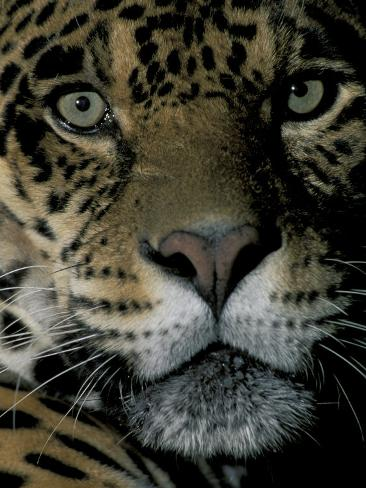 Jaguar, Madre de Dios, Peru Photographic Print