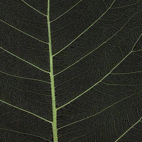 Bo Leaf I Stretched Canvas Print
