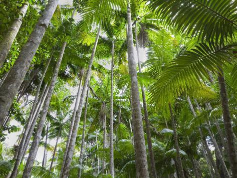 Queensland, Fraser Island, Tropical Palms in the Rainforest Area of Wanggoolba Creek, Australia Photographic Print