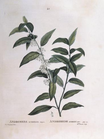 Andromeda Acuminata Henry Louis Duhamel Du Monceau, Botanical Plate by Pierre Joseph Redouté Stampa giclée