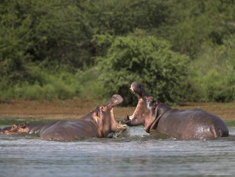 hippos fighting in kruger national park, mpumalanga, south africahippos fighting in kruger national park, mpumalanga, south africa photographic print by ann \u0026 steve toon at allposters com