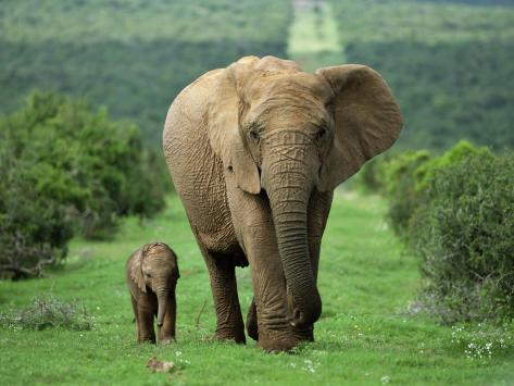 Mother and Calf, African Elephant (Loxodonta Africana), Addo National Park, South Africa, Africa Photographic Print
