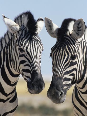 Two Burchell's Zebra, Equus Burchelli, Etosha National Park, Namibia, Africa Photographic Print