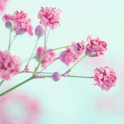 Closeup of pink babys breath flowers photographic print by anna closeup of pink babys breath flowers mightylinksfo
