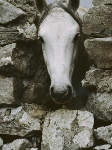 The Head of a White Connemara Pony Pokes Through a Gap in a Stone Wall Photographic Print