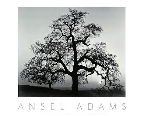 Oak Tree, Sunset City, California Impressão artística
