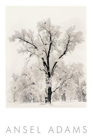 Oak Tree Impressão artística