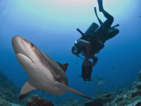 Diver Swimming with Caribbean Reef Shark (Carcharhinus Perezii), Roatan, Bay Islands, Honduras Photographic Print
