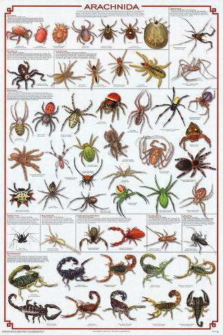 Arachnida Spider Educational Science Chart Poster Poster