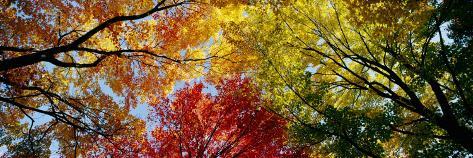árboles Coloridos En Otoño Otoño Vista Desde Abajo Lámina