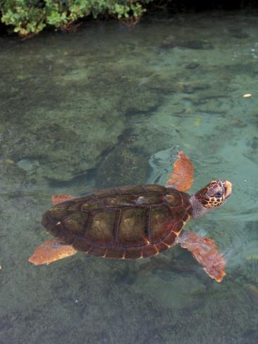 Green Sea Turtle, Bocas del Toro Islands, Panama Photographic Print
