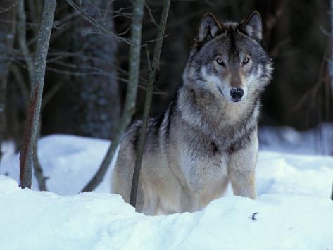 Grey Wolf, Canada Stampa fotografica