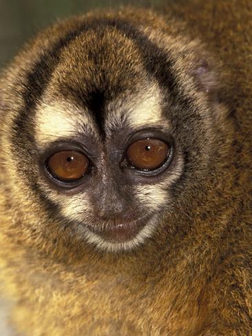 Owl Monkey, Panama Photographic Print