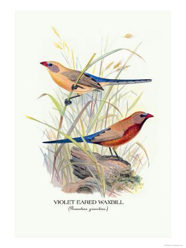 Violet Eared Waxbill Art Print