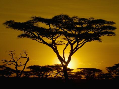 Acacia Tree Silhouette at Twilight on the Savanna of Tanzania, East Africa Photographic Print
