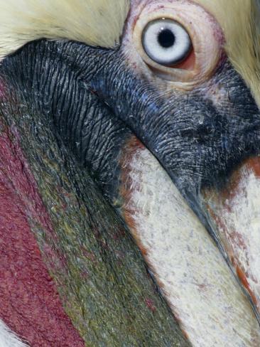 Brown Pelican, Pelecanus Occidentalis Photographic Print