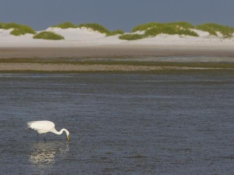 Great Egret Hunting in a Lagoon Behind Coastal Sand Dunes, Ardea Alba, Fort Desoto Park, Florida Photographic Print