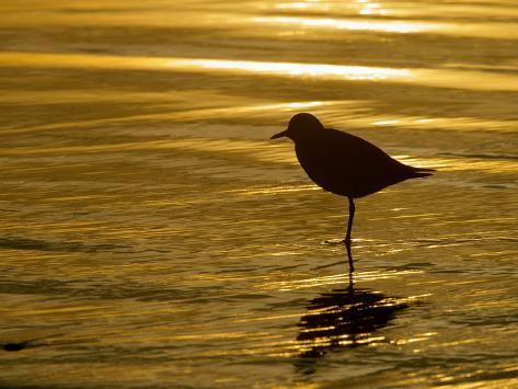 Silhouette of Black-Bellied Plover on One Leg in Beach Water, La Jolla Shores, California, USA Photographic Print