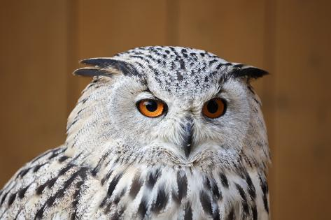Eagle Owl with Big and Beautiful Oranges Eyes Photographic Print