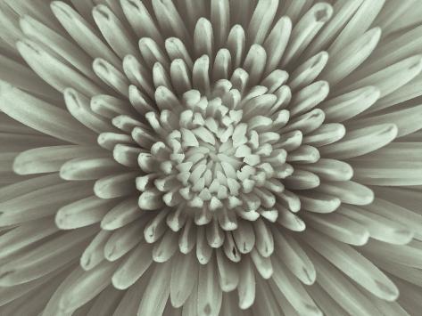Chrysanthemum Floral Giclée-vedos