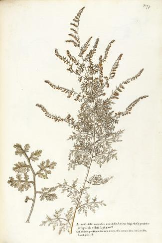 Asteraceae or Compositae Stampa giclée