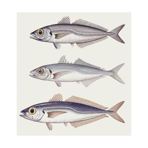 Atlantic Horse Mackerel (Trachurus Trachurus) Big and Small Stretched Canvas Print