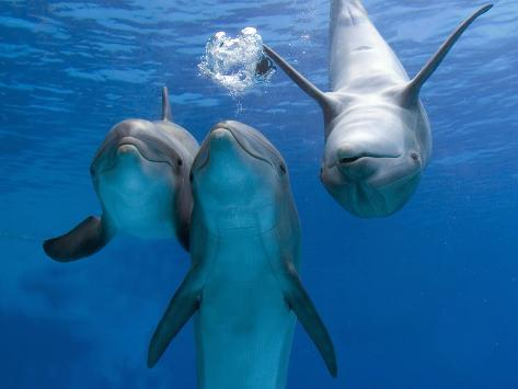 Bottlenose Dolphins, Three Playing Underwater Photographic ...