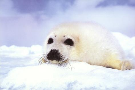 Baby Seal Cub Poster