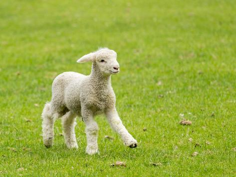 Cute Lamb in Meadow in New Zealand Photographic Print