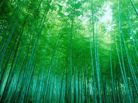 Bamboo Forest, Sagano, Kyoto, Japan Photographic Print