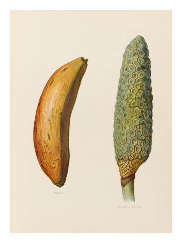 Banaanit Giclée-vedos