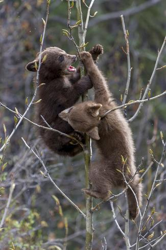 A Black Bear Cub, Ursus Americanus, Falls from a Small Tree Valokuvavedos