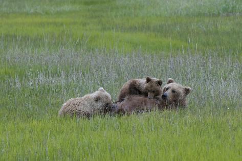 A Grizzly Bear Mother, Ursus Arctos Horribilis, Nurses Her Two Cubs Valokuvavedos
