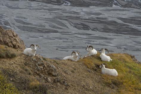 Dall's Sheep, Ovis Dalli, Rest Above a Braided River Valokuvavedos