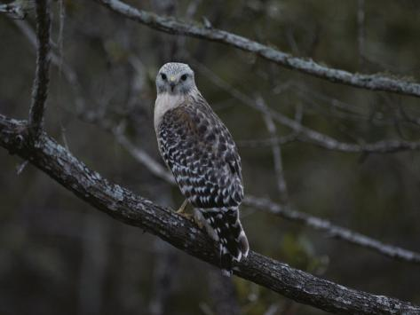 A Red-Shouldered Hawk Sits on a Tree Branch Photographic Print