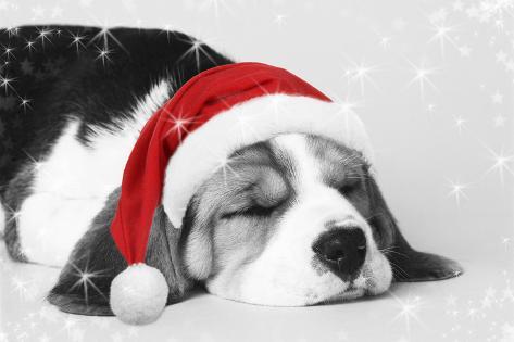 beagle dog puppy asleep wearing a christmas hat - Christmas Beagle