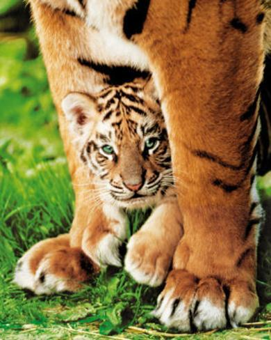 Bengal Tiger Cub (Animal) Photo Print Poster Mini Poster