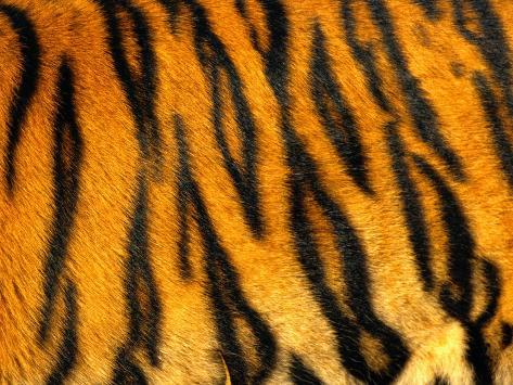 Bengal Tiger Skin Pattern Photographic Print At AllPosters Classy Tiger Pattern