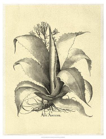 Crackled Besler Aloe Americana Art Print